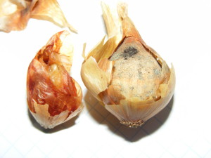 болезни лука-севка