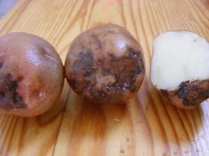 картофель Лазарь - кольцевая гниль
