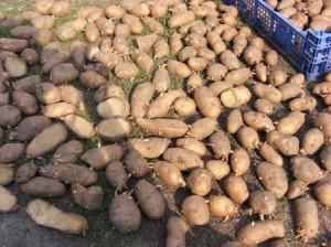 семенной картофель фото