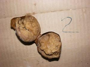 гнилой картофель никита