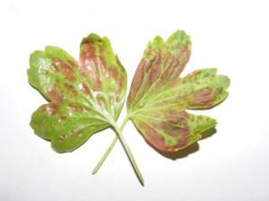 краснеют листья смородины