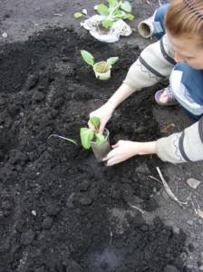 сажаем раннюю капусту