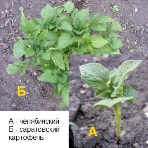 сравнение всходов картофеля