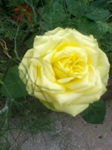 укроп и роза