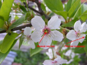 вишня цветы фото