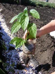 высаживаем перец