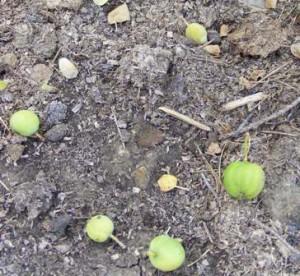 опадают яблоки в июне