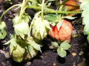первые ягоды земляники