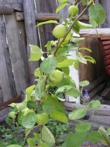 ветка с яблоками в июне