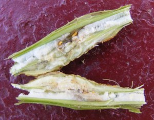 личинки галлицы