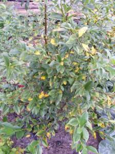 желтеют и опадают листья у вишни
