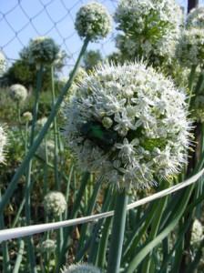 лук чернушка выращивание