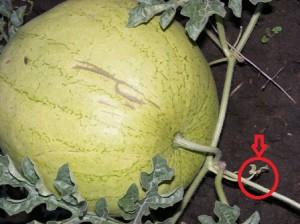 как определить поспел ли арбуз