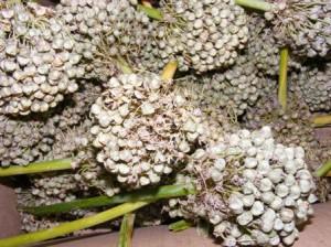 уборка семян лука