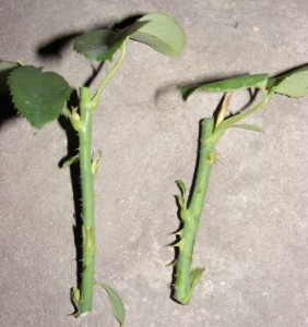 зеленые черенки роз