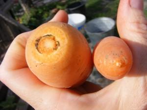 обрезаем морковь перед закладкой на хранение
