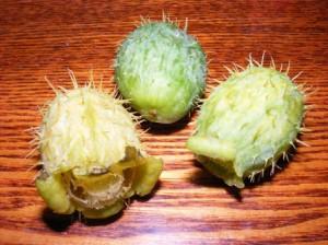 плоды эхиноцистиса
