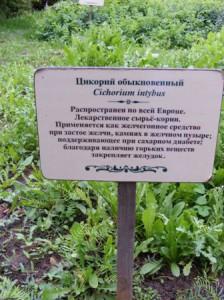 цикорий обыкновенный фото
