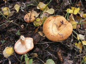 волнушка гриб