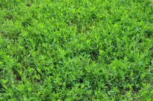 дикий газон из спорыша