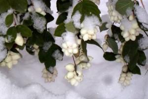 снежноягодник в снегу