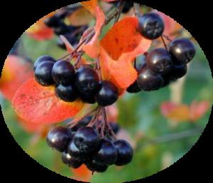 ягоды аронии