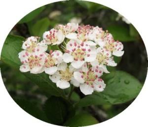 цветы аронии