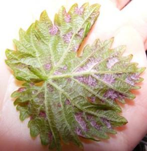 виноградный зудень