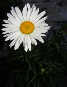 нивяник фото