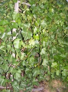 виноград без обрезки