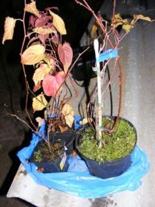 саженцы актинидии, как посадить актинидию