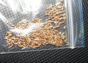 семена гелихризум