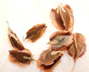 семена ревеня, ревень выращивание